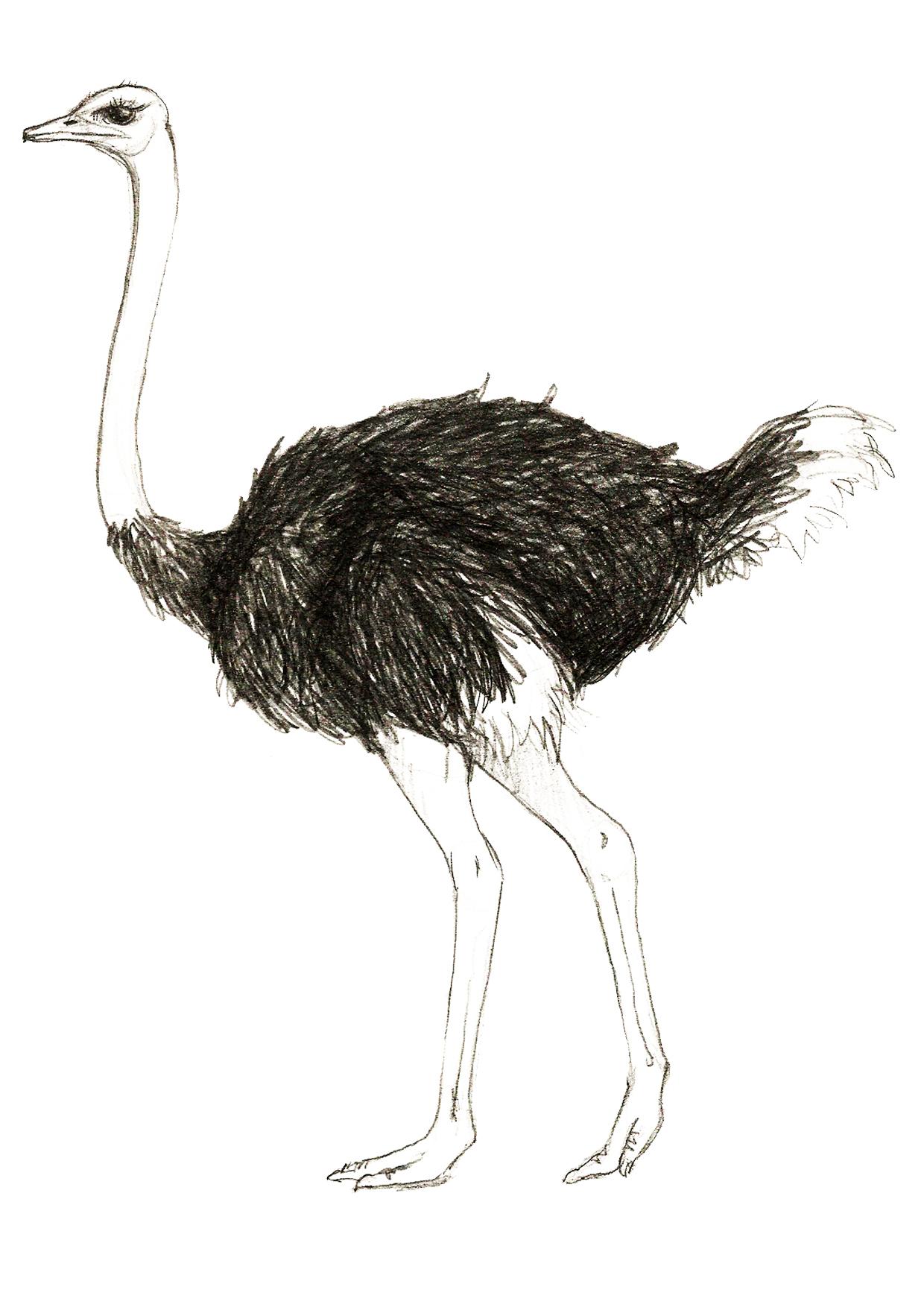 Картинки страуса нарисованные, фирменные